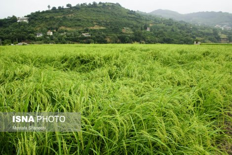خواب تابستانیِ شالیزارهای برنج مازندران